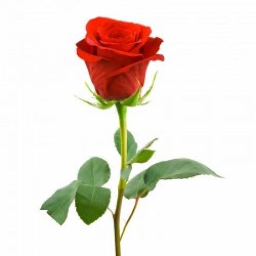 1шт Роза голландская 80см красная