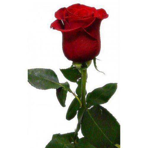 1шт Роза голландская 70см