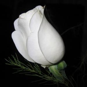 1шт Роза голландская 80см белая