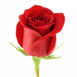 1шт Роза голландская 50см