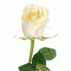 1шт Роза голландская 70см белая