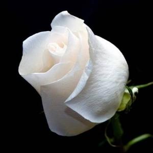 1шт Роза голландская 90см белая