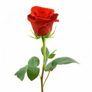 1шт Роза голландская 90см