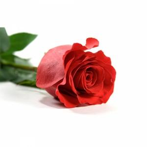 1шт Роза голландская 60см красная