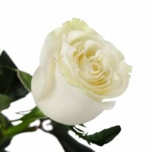 1шт Роза голландская 50см белая