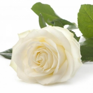 1шт Роза голландская 60см белая