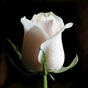 1шт Роза голландская 1м